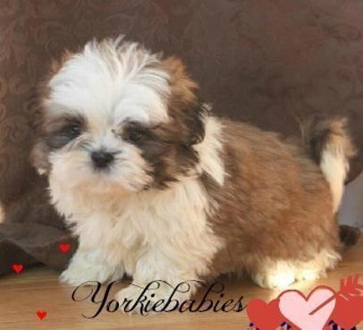 Yorkiebabies Com Elegant Shih Tzu Puppies Teacupshihtzus Shihtzu