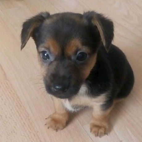 Yorkie Russell Jack Russell Terrier X Yorkshire Terrier Mix Jack Russell Chihuahua Terrier Mix Dog Breeds