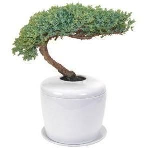 Traditional Windswept Juniper Bonsai Tree Juniper Procumbens Nana And Porcelain Ceramic Cremation Urn W Juniper Bonsai Bonsai Tree Ceramic Cremation Urn