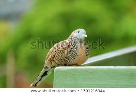 Close Up Of A Wild Zebra Dove At The Balcony Looking Up To The Sky Stock Photos Royalty Free Images Sky Images