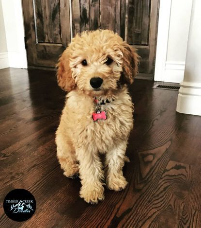 Adorable Mini Goldendoodle Puppies For Sale We Re Dedicated To