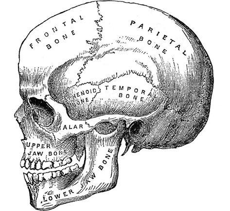 'Vintage anatomical medical skull illustration' Sticker by Cravagnati Human Skull Anatomy, Human Anatomy Drawing, Brain Anatomy, Anatomy Art, Anatomy Bones, Skull Illustration, Medical Illustration, Anatomical Tattoos, Medical Drawings