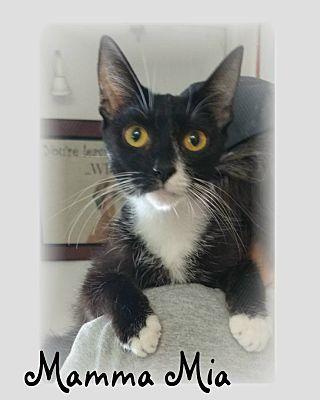 Ozark Al Domestic Shorthair Meet Mamma Mia A Cat For Adoption