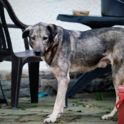 Seramis 4 Jahre Gross In 2020 Tierheim Hunde Tiere