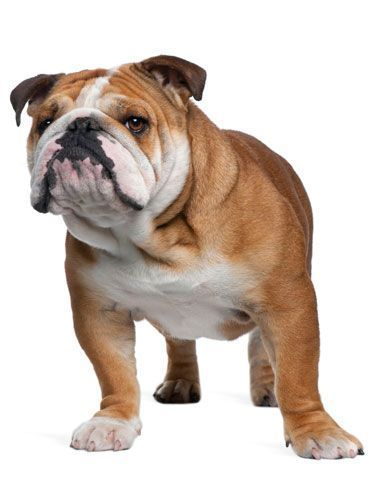 The English Bulldog Has A Ferocious Past But They Re Big Sweeties