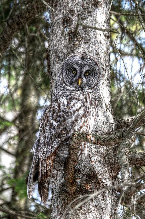 Is that an owl or a chameleon? Beautiful Owl, Animals Beautiful, Cute Animals, Majestic Animals, Owl Photos, Owl Pictures, Funny Pictures, Photo Animaliere, Great Grey Owl