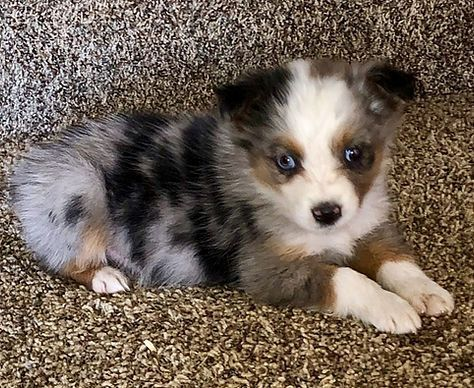 Available Pups Healthyaussiehome In 2020 Aussie Puppies Aussie Shepherd Puppy Cute Dogs And Puppies