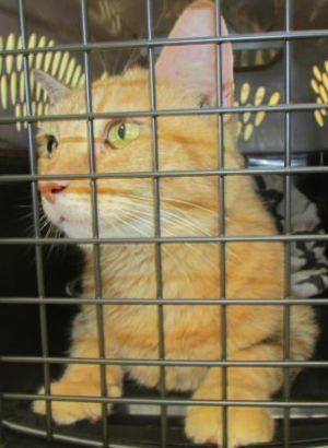 Cat For Adoption Daphne A Domestic Medium Hair Mix In North Myrtle Beach Sc Petfinder Help Homeless Pets Cat Adoption Homeless Pets