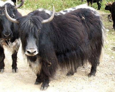 b717662fc9f1e lineback black yak cow in Tibet | Animals | Yak image, Cow, Animals