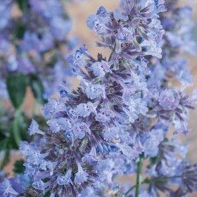 Garten Edeldistel 3 Pflanzen Winterharte Stauden Gartenpflanzen Online Kaufen Bestellen In 2020 Winterharte Stauden Katzenminze Pflanzen