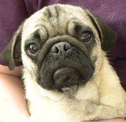 Adopt Skippy On Pugs Pug Rescue Dogs
