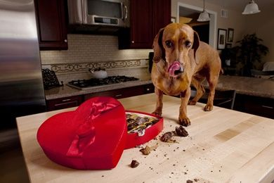 Most Dog Owners Are Aware That Chocolate Is A Big No No For Dogs