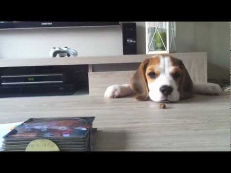 Beagle Puppy From 8 Weeks To 8 Months Cute Dog Louie Youtube