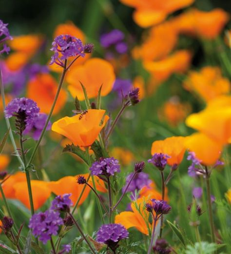 Love this combination of californian poppy and small verbena rigida