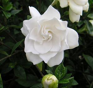 八重咲きクチナシ クチナシ 鉢植え 八重咲き