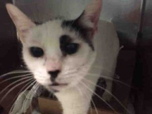 A volunteer writes: You will find Petey meowing for attention. This sweet girl is friendly and playful. She is affectionate making you enjoy petting her head. She is a sweet cat, so, come and see how wonderful she is.
