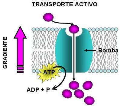 Requiere De Energia Quimica Ya Que Es El Movimiento De Productos Bioquimicos De Las Zonas De Menor Conser En 2020 Transporte Pasivo Membrana Plasmatica Energia Quimica