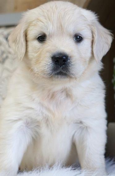Jenni Golden Retriever Puppy 597973 Puppyspot Retriever Puppy Golden Retriever Golden Retriever Training