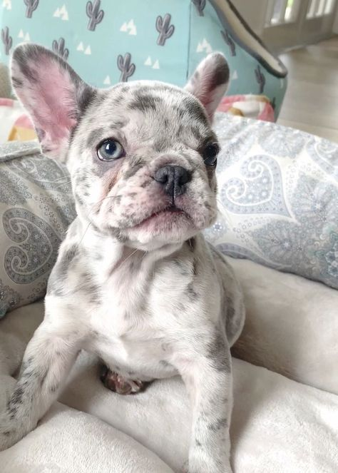 French Bulldog Puppies for Sale in Florida AKC French Bulldogs FL - Poetic . - French Bulldog Puppies for Sale in Florida AKC French Bulldogs FL – Poetic French Bulldogs French - Cãezinhos Bulldog, Bulldog Breeds, Bulldog Puppies For Sale, English Bulldog Puppies, Cute Dogs And Puppies, Pet Dogs, Doggies, Frenchie Puppies, Baby Bulldogs
