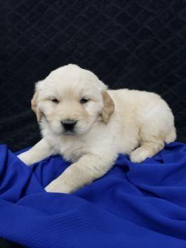 23 Golden Retriever Puppies For Sale In Ohio Under 500 In 2020