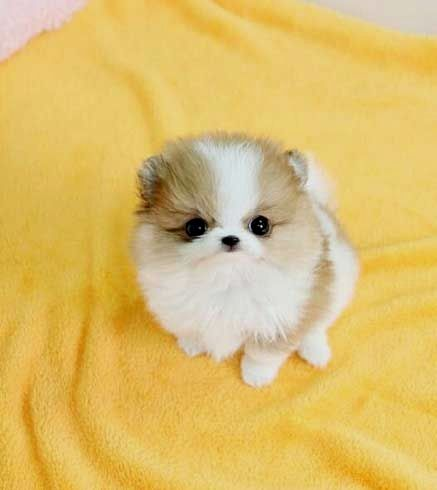 Pin By Carol P Luna On Pomeranian Cute Baby Animals Puppies Pomeranian Puppy