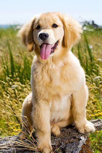 Discover The Intelligent Golden Retriever Dog Size
