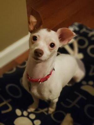 Colorado Springs Co Chihuahua Meet Candy Cane A Pet For