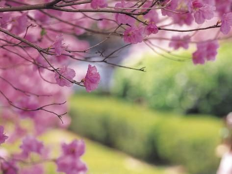 Photographic Print Close Up Of Pink Tree Blossoms Poster 24x18in In 2021 Weeping Cherry Tree Ornamental Cherry Flowering Cherry Tree