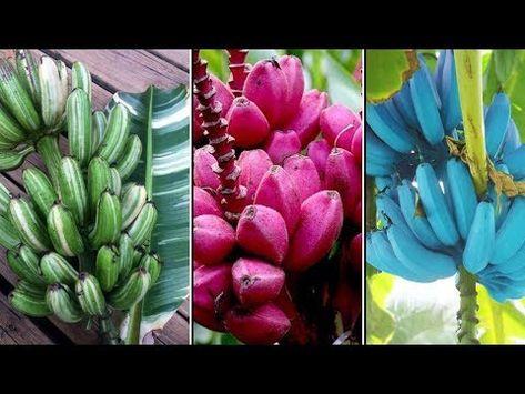 Different Types Of Bananas Pink Banana Blue Java Banana Musa Praying Hands Youtube Weird Fruit Banana Health Benefits Banana Fruit