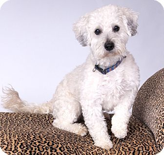 Pictures Of Tito A Lhasa Apso X2f Poodle Miniature Mix For