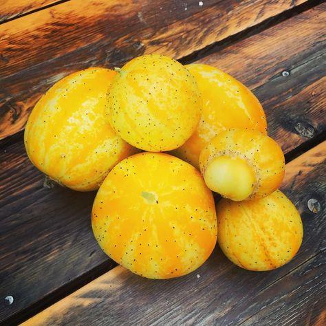 Zitronengurken Ernte 2019 Zitronengurke Lemoncucumber Cucumber Gurke Zitrone Gelb Tennisball Garden Narure Garten Natur Natureporn Foodporn F Mit Bildern Ernte