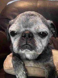That's truly heartwarming to see these old fellas get attention as well A senior rescue pug gets spoiled by his new family
