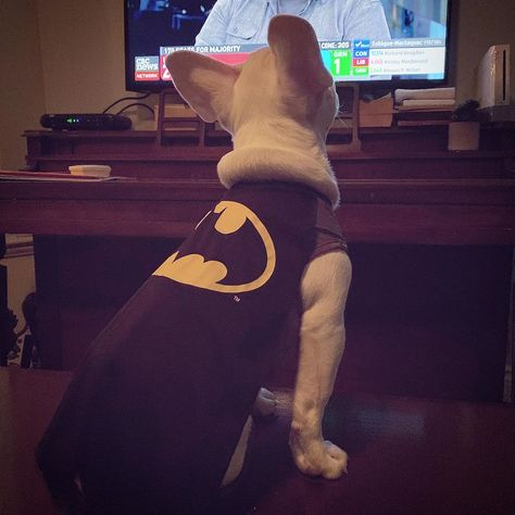 Cute but stinky. Head of the Farty Party. 👻 . . #ghostthefrenchbulldog #canadavotes #electionnight #dogsofnewbrunswick #dogsofinstagram #dogsofcanada #frenchiesofinstagram #frenchieofinsta #frenchiesofig #frenchiesofcanada #canadianfrenchies #frenchie #frenchies #frenchiepuppy #frenchiesociety #frenchielife #hero #imbatman #batsignal #batpig #fartyparty #stinky #cutebutstinky