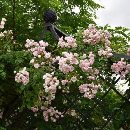 Ethel (Rambling Rose) | Rambling Roses | Roses | Peter Beales Roses - the World Leaders in Shrub, Climbing, Rambling and Standard Classic Roses