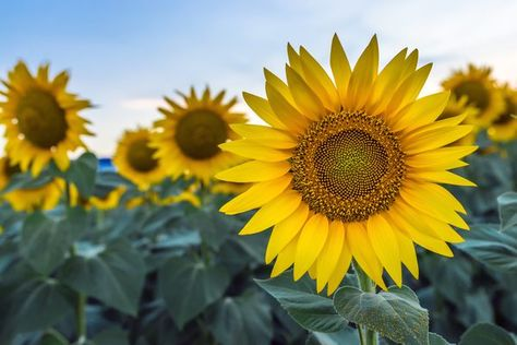 How To Collect Sunflower Seeds For Replanting Growing Sunflowers Planting Sunflower Seeds Planting Sunflowers