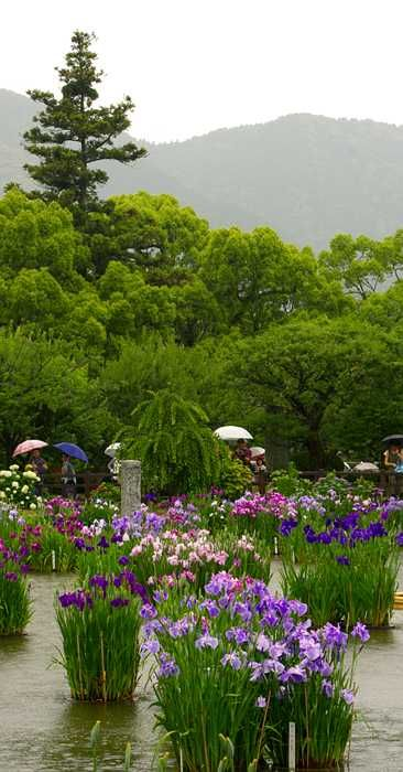 The iris pool garden at Tenmangu Shrine, Dazaifu, Kyushu, Japan is brimming full of Iris ensata this wet June morning. Plants grow in circular cement planters year round.