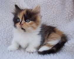 Midget Cats Munchkin Cat Cute Cats Munchkin Kitten