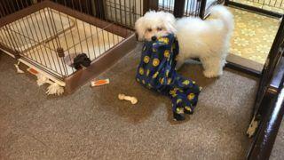 室内小型犬を飼う初心者に教えたいトイレ環境の作り方 初めての室内小型犬の飼い方 しつけ方 小型犬 犬 ビション
