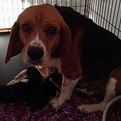Springfield Va Beagle Meet Nellie A Dog For Adoption Dogs