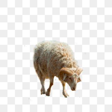 خروف عيد الاضحى الأغنام المرسومة خروف الحيوانات Png وملف Psd للتحميل مجانا Animal Clipart Eid Al Adha Graphic Design Background Templates