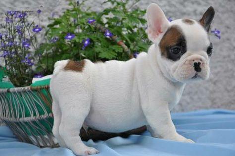 Cute French Bulldog Puppies Doudoune Canada Goose