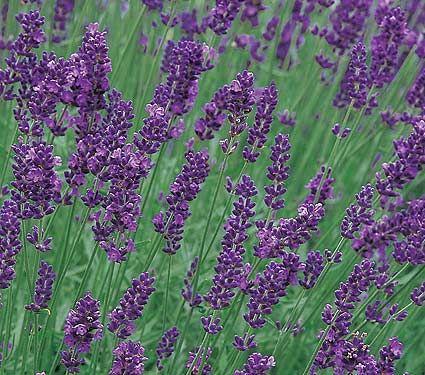 Lavandula Angustifolia Lavender Extract White Flower Farm Flower Seeds Lavender Seeds