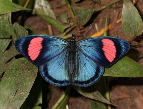 The Painted Beauty (Batesia hypochlora) is found in the upper Amazon areas of Brazil, Ecuador and Peru. Batesia is a genus of butterfly of the Nymphalidae family containing only one species, the Painted Beauty. The wingspan is 85-95 mm.