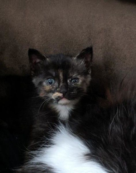 Tortoiseshell And Domestic Short Hair Mixed Cat For Adoption In