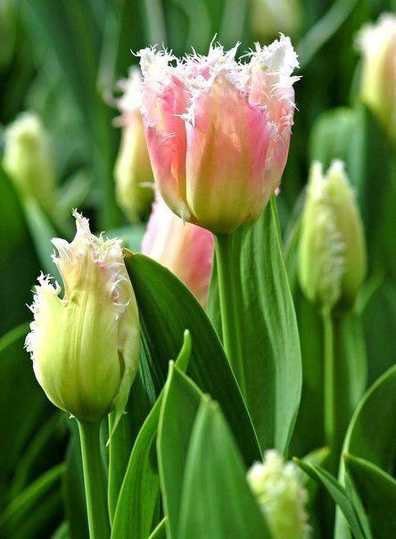 43++ Tulpen nach dem bluehen Sammlung