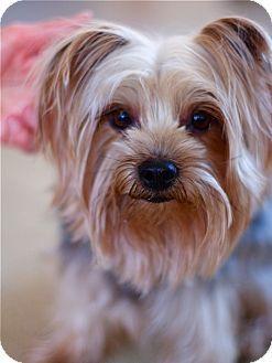 Boston Ma Yorkie Yorkshire Terrier Mix Meet Pudding A Dog For Adoption Yorkiepuppiespuyallupwa Yorkie Animals Animal Shelter