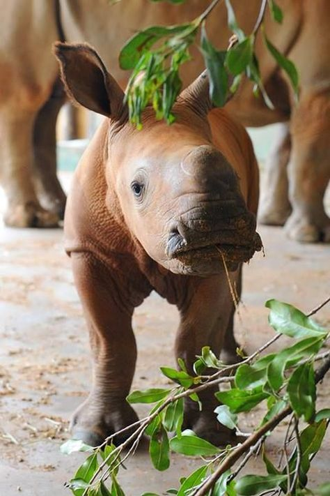 Australia Zoo S Rhino Calf Is A Big Boy Baby Animals Animals Animals Beautiful