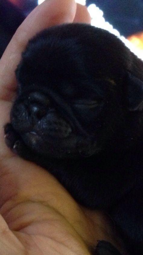 Ozzy pug, just 3 days old - 8 long weeks to wait until I have him #pug #pugpuppy #blackpug #blackpugpuppy #puppylove #puglove #pugeyes #cute #love