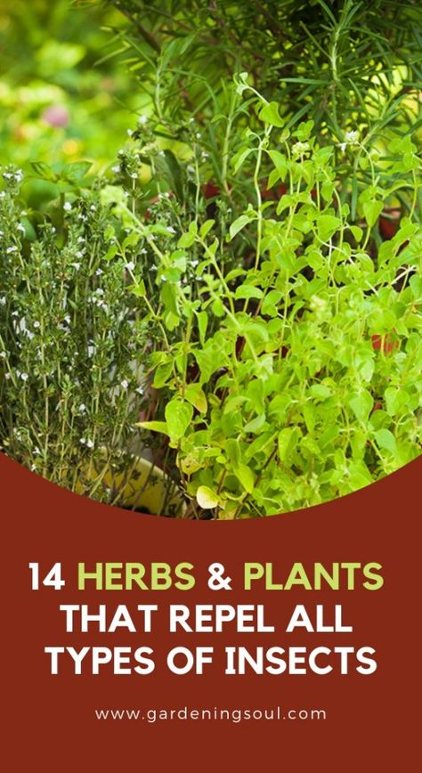 14 Herbs Plants That Repel All Types Of Insects Insect