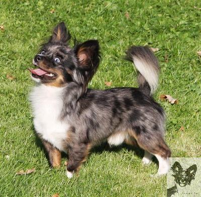 Blue Merle Chihuahua Long Coat Beautifullll Merle Chihuahua